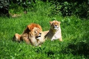 th_lion-359241_640