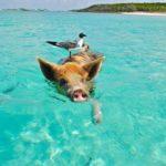 逃げ出した豚をみて食生活を考える